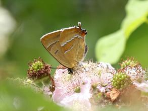 Brown hairstreak butterfly © Brian Walker