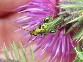 False oil beetle (Oedemera nobilis)
