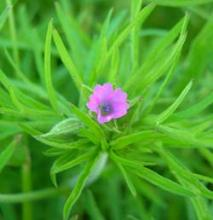 Cut leaved cranesbill