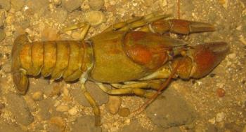 White clawed (native) crayfish