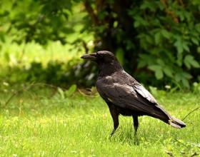 Spotlight on... Raven | Thames Valley Environmental ...