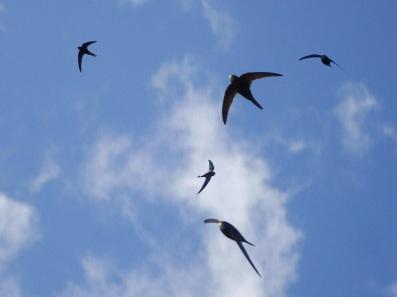 Composite_montage_photo__swifts_against_blue_sky__credit_C_Wilkinson