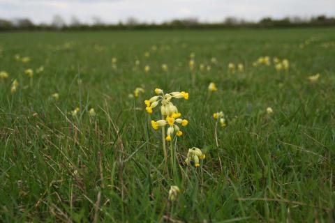 Photo of cowslips in a meadow by Caroline Coleman