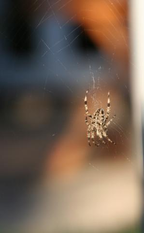 Garden Spider, C Coleman