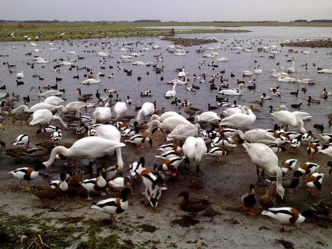 Photo of mixed wildfowl, by Caroline Coleman