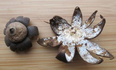 Weather Earthstar - photo by Dr Judy Webb