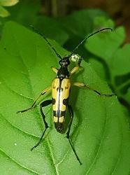 Longhorn beetle, Rutpela maculata © Yolanda Vazquez