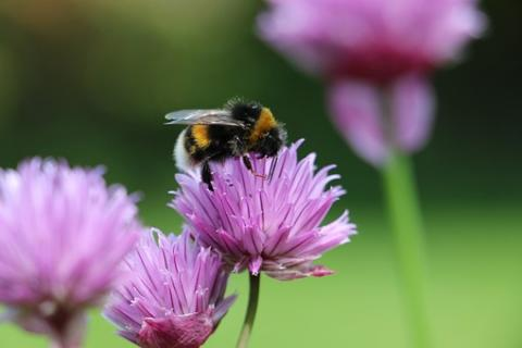 Photograph of a bee on chives