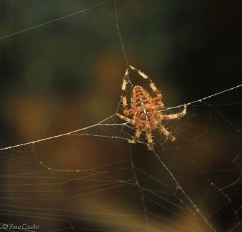 Orb spider photo by Zoe Caals