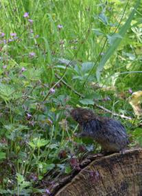 Photo of water vole foraging. N Devine