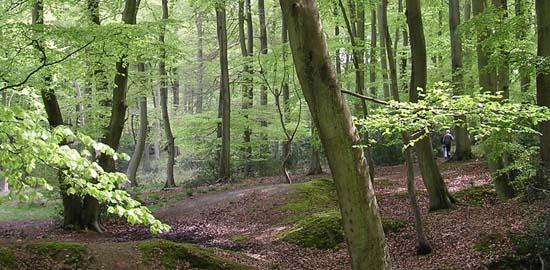 Ancient woodland in the Chilterns